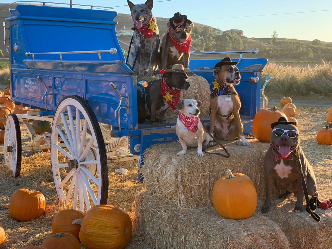 Six dogs of varying breeds sit on a blue stagecoach, wearing hats, and posing. Haystacks and a pumpkin are in the foreground.