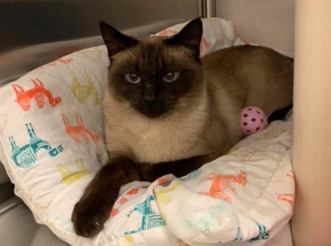 SEalpoint Siamese relaxes with pink toy ball on white pillow with pink and blue animal designs.