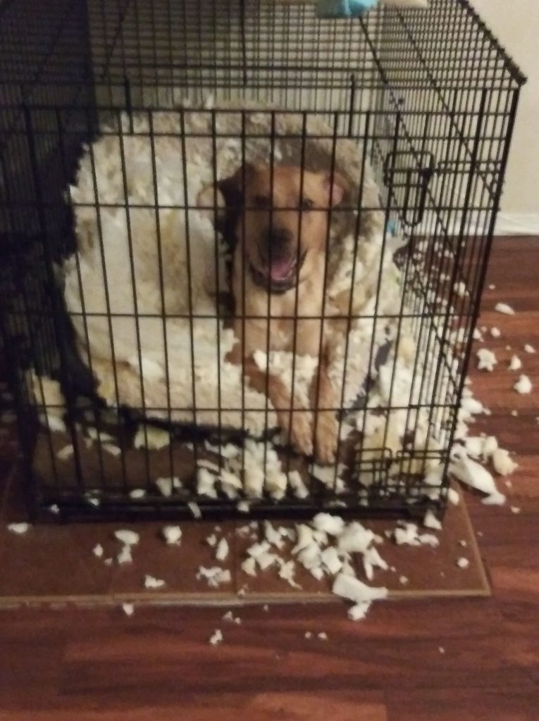 Large white dog in a crate with ripped-out stuffing from a pillow.