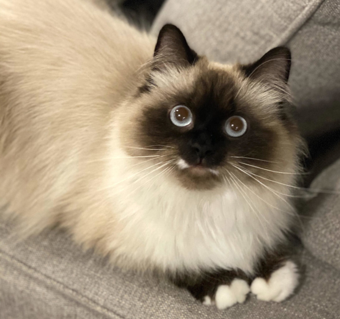 Sealpoint longhair Balinese cat with white paws, brown mask and ears, and huge blue eyes stares at camera.