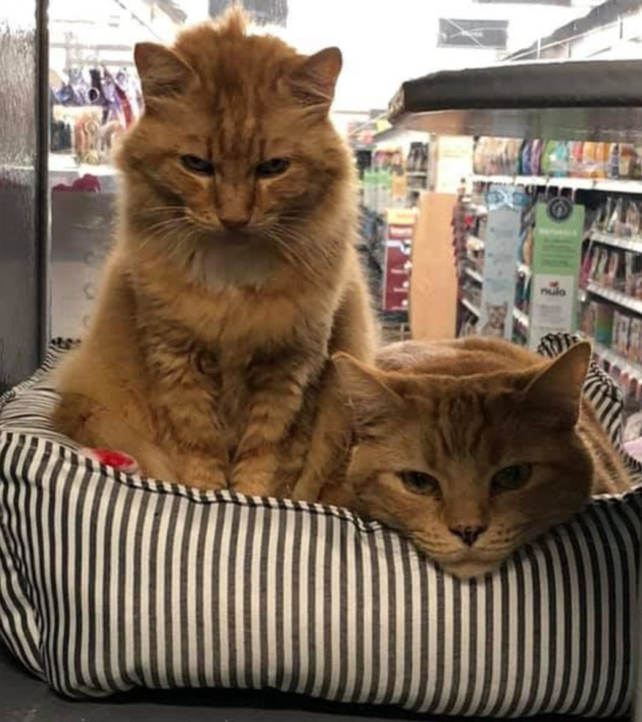 Large orange mediumhair tabby sits up with the face of another orange tabby resting on the striped bed they're sitting in. Shelves of a store in background.