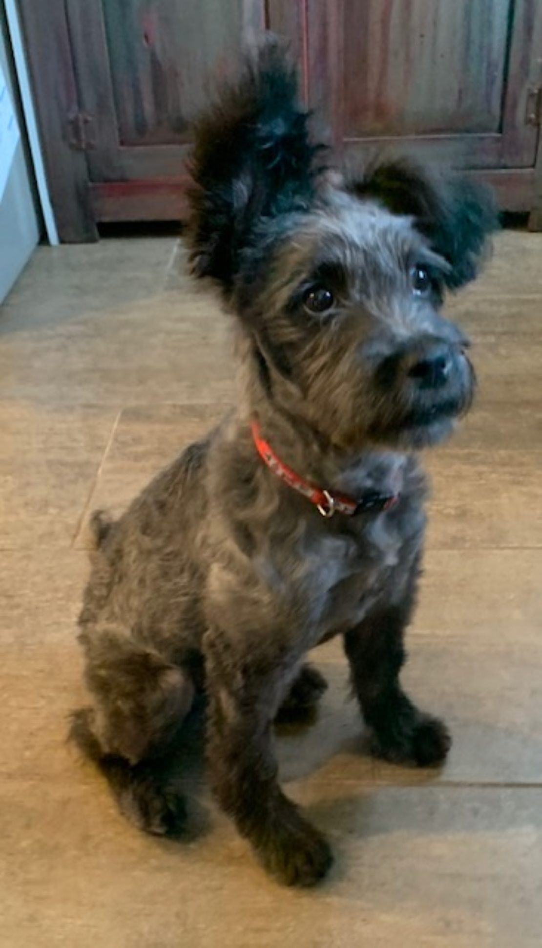 black terrier with pink collar looks at something unseen. One ear is up, and one is down.