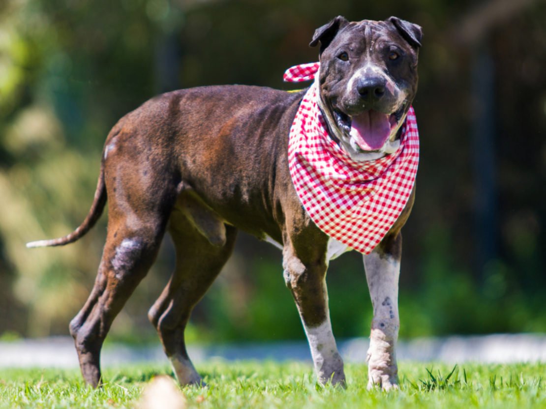 big pit bull wearing red-checked scarf stands on grass. He is all brown except for white muzzle and white stockings.