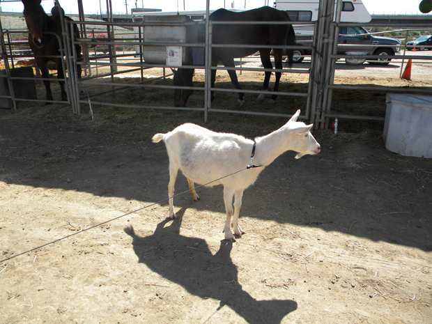 goats enjoy walks too