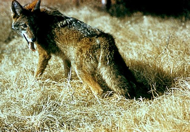 Coyote ACS