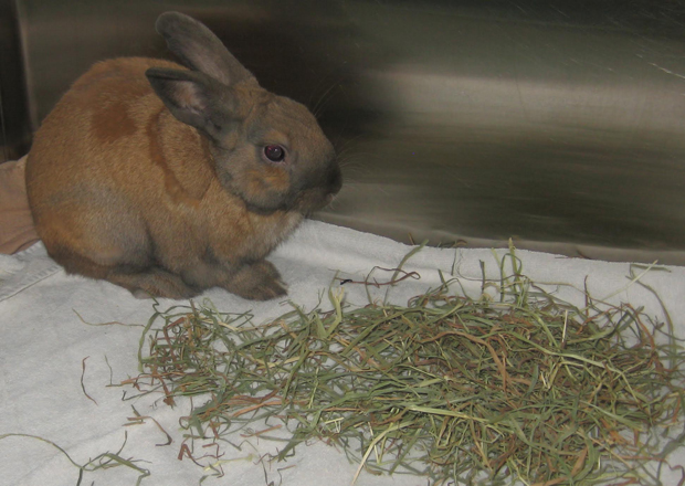 Timothy Hay for Rabbits
