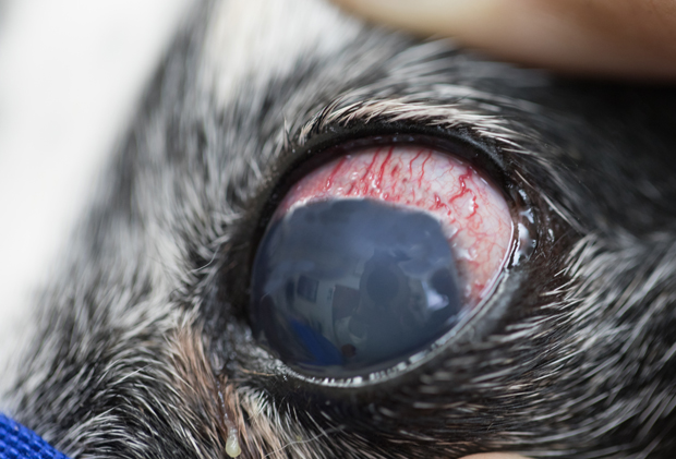 What Does Glaucoma Look Like In Dogs