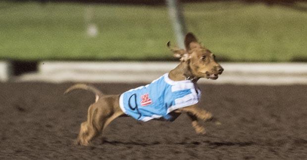 2016 Wienerschnitzel Wiener Nationals Champion Darcy runs super race to win the championship