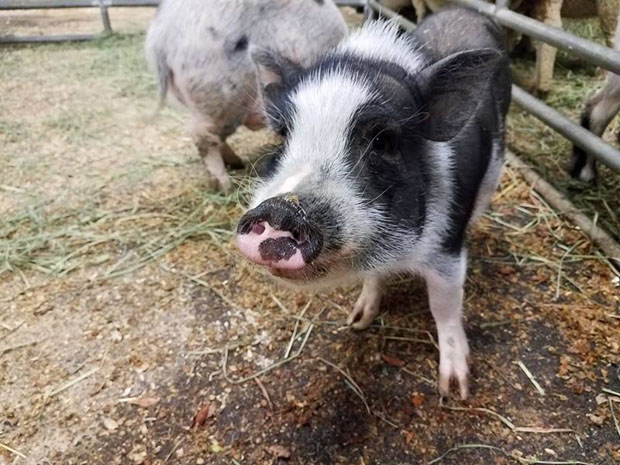 Big pink-nosed pig - Copy