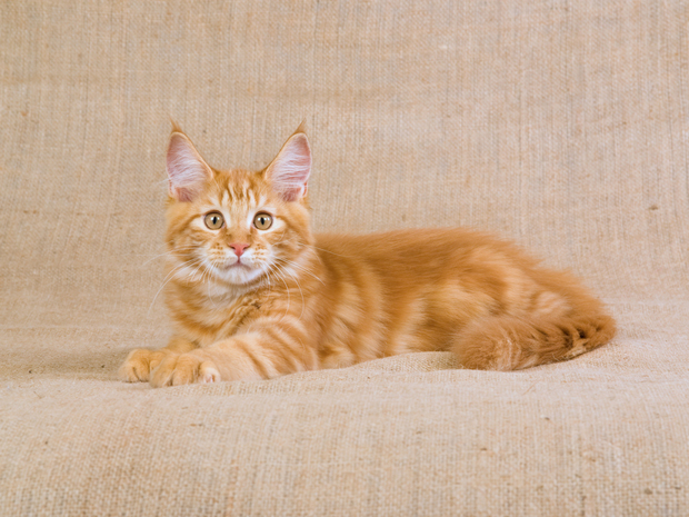 The Spectacular Red Tabby! • Long Beach Post
