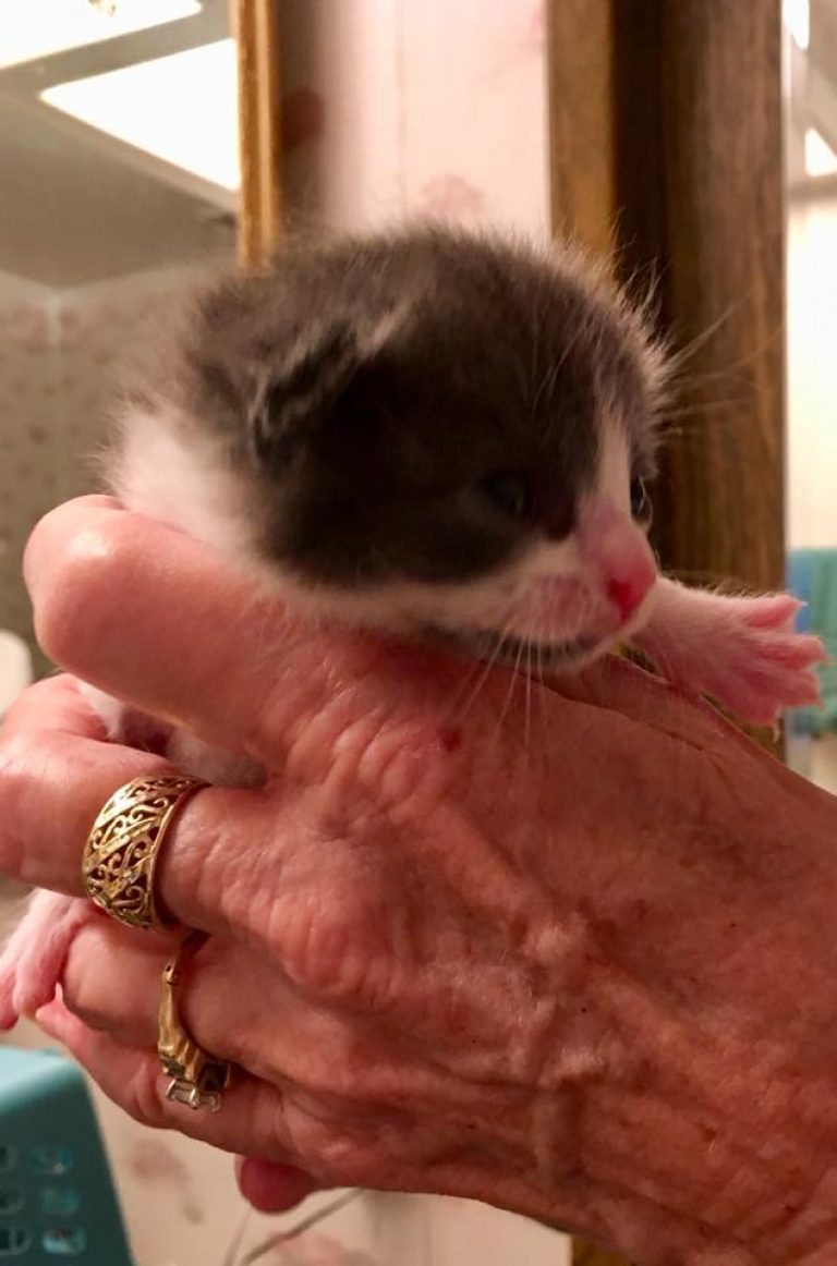 Newborn kitten with black head, hwite muzzle, pink nose held in someone's hands. gold ring on ring finger