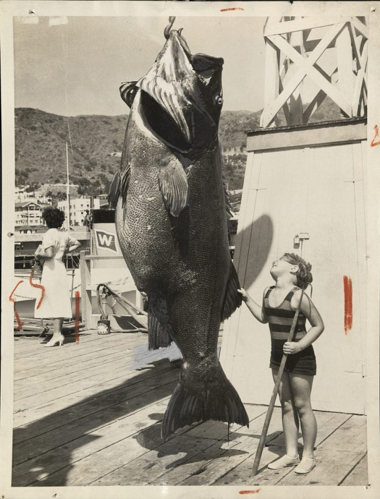 Giant_sea_bass