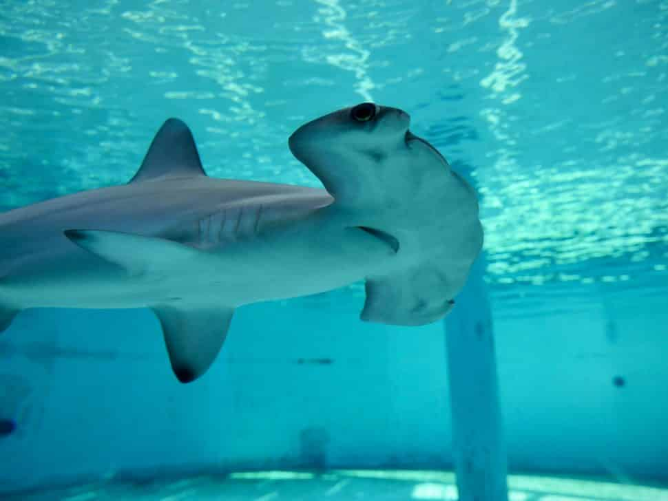 A Scalloped Hammerhead Shark Is The Newest Resident Of Aquarium Pacific It Was Brought To Under Permit From Australia And Hasn T
