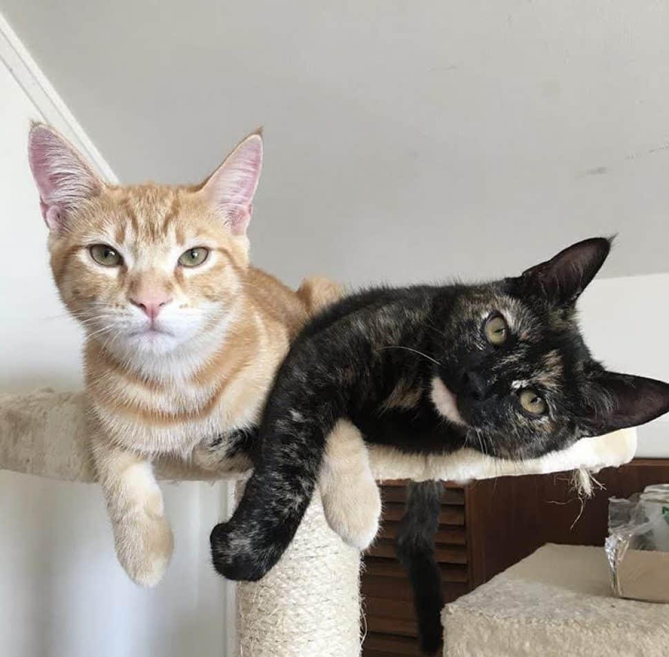 Siamese Kittens For Sale Near Me Craigslist Gastronomia Y Viajes
