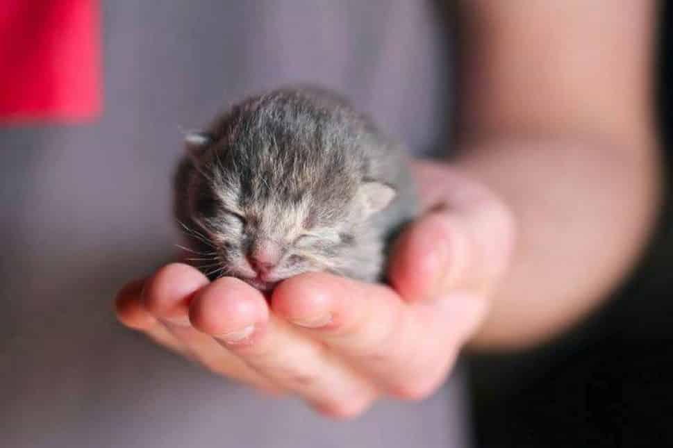 tiny gray kitten sleeps in someone's hand