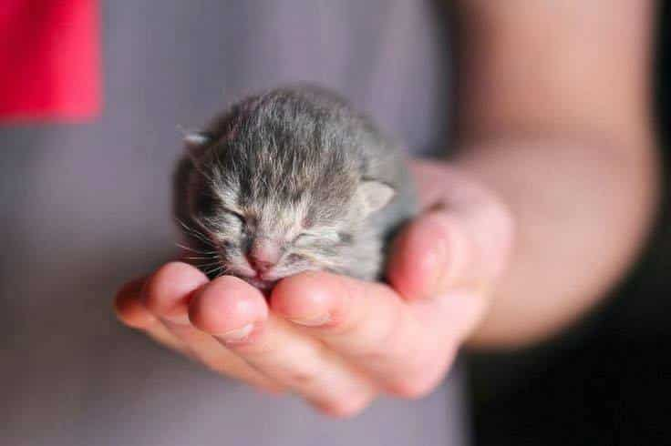 tiny gray kitten sleeps in someone's hand