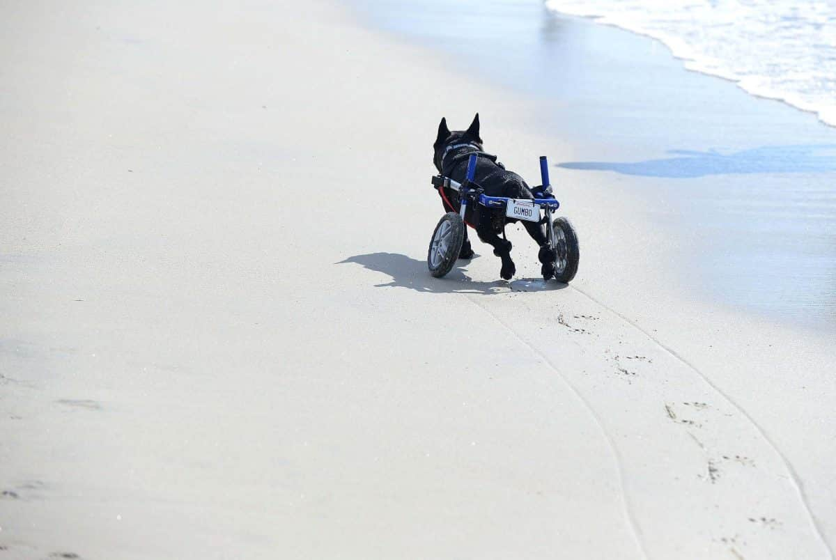 IN PICTURES: Frenchies let loose at Rosie's Dog Beach • the