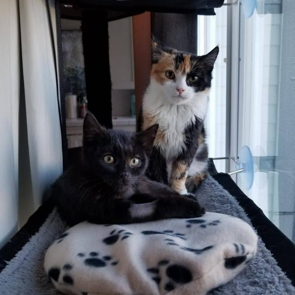 Black cat lying down on left next to calico cat with a white chest sitting upright in a kennel in front of a cushy cat bed.