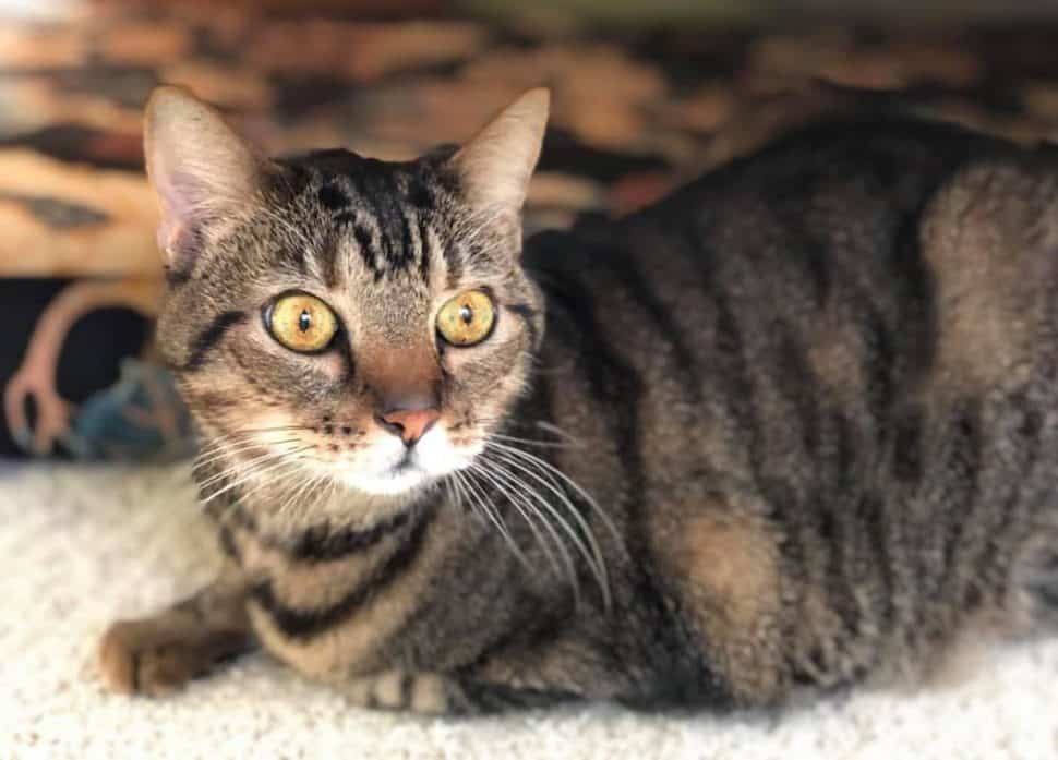 Brown tabby with big light-green eyes sits in a meat-loaf position.