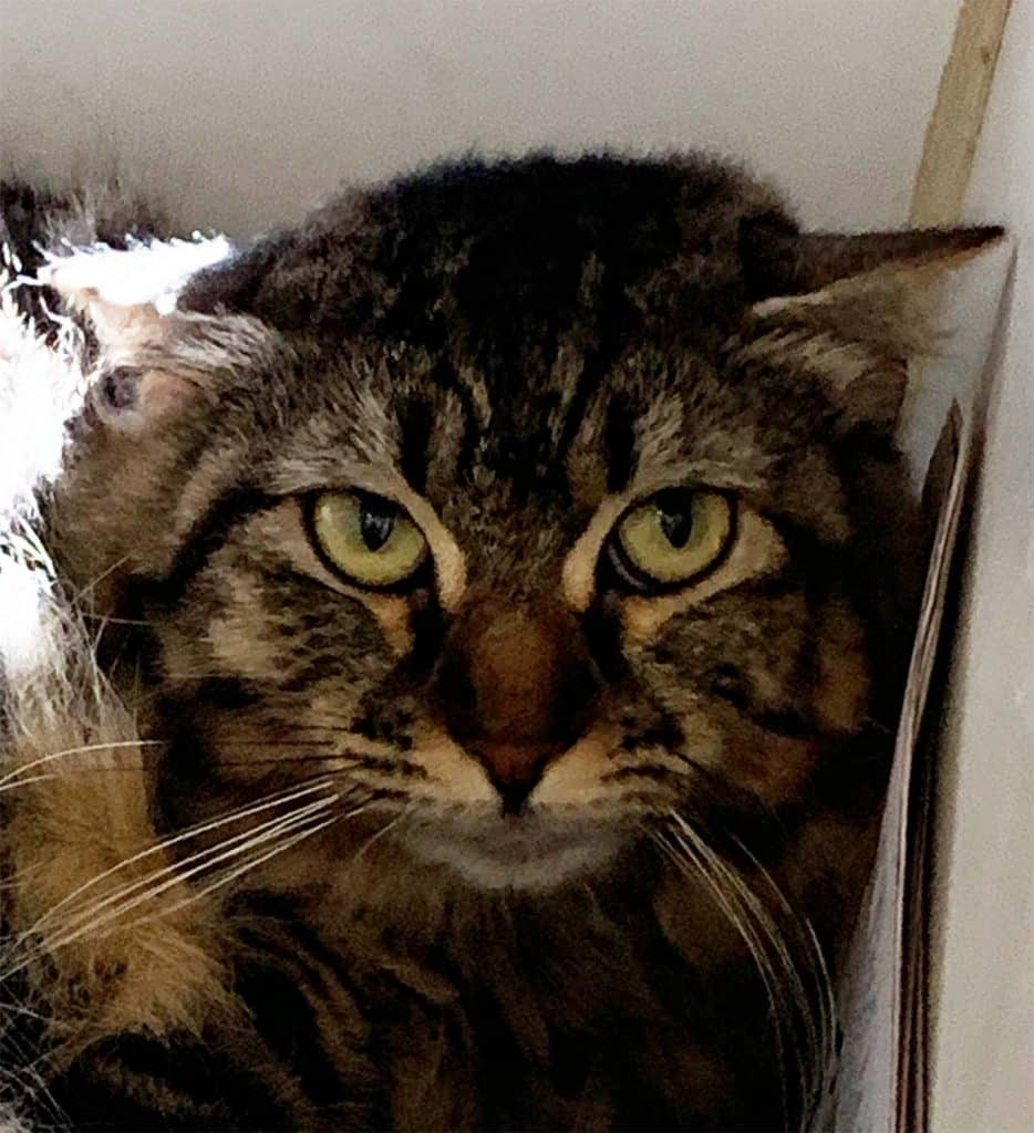 Angry-looking cat face, ears down, in kennel, brown longhair tabby.