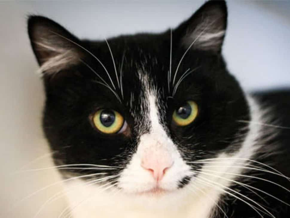 Tuxedo cat, pink nose, white muzzle and chest, face only