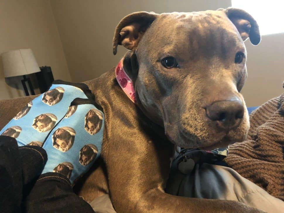 Two feet in blue socks with pit bull dog photos all over it next to the same brown pit bull in a head shot