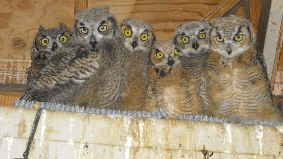 a row of brown barn owls staring at you!