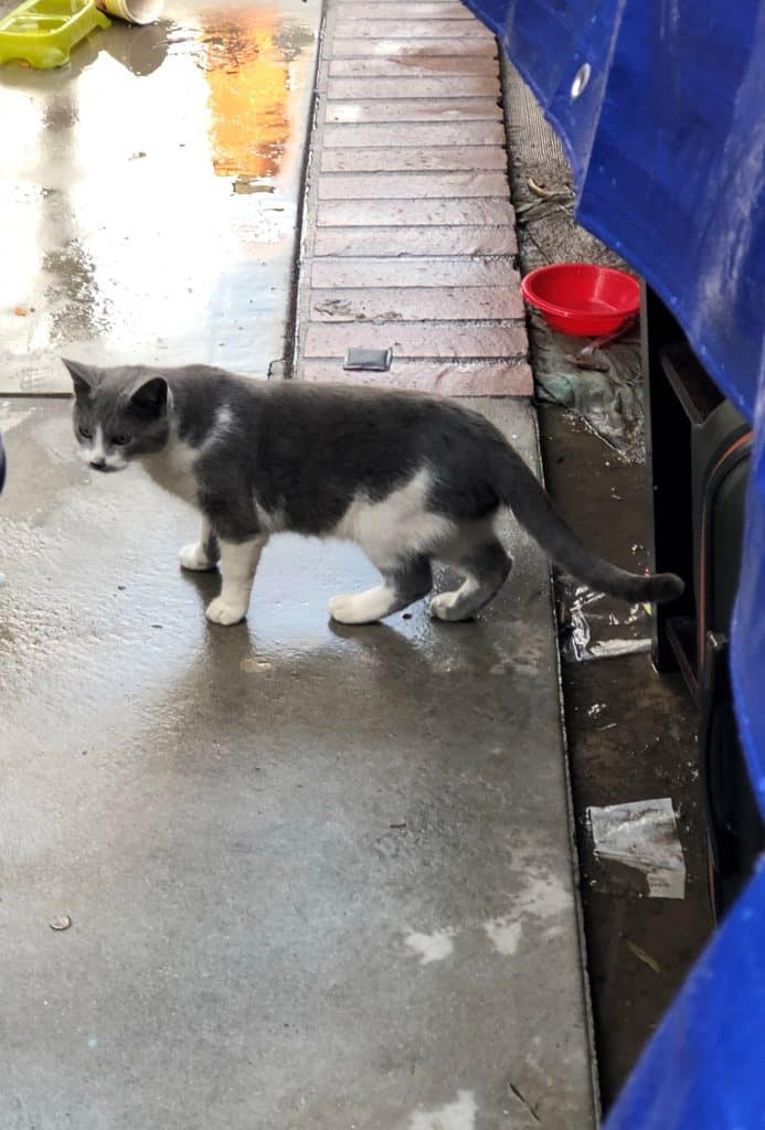 Gray cat with white patches stands on a cement walk with a row of bricks in the back. A red water bowl is right, rear. The ground is wet.