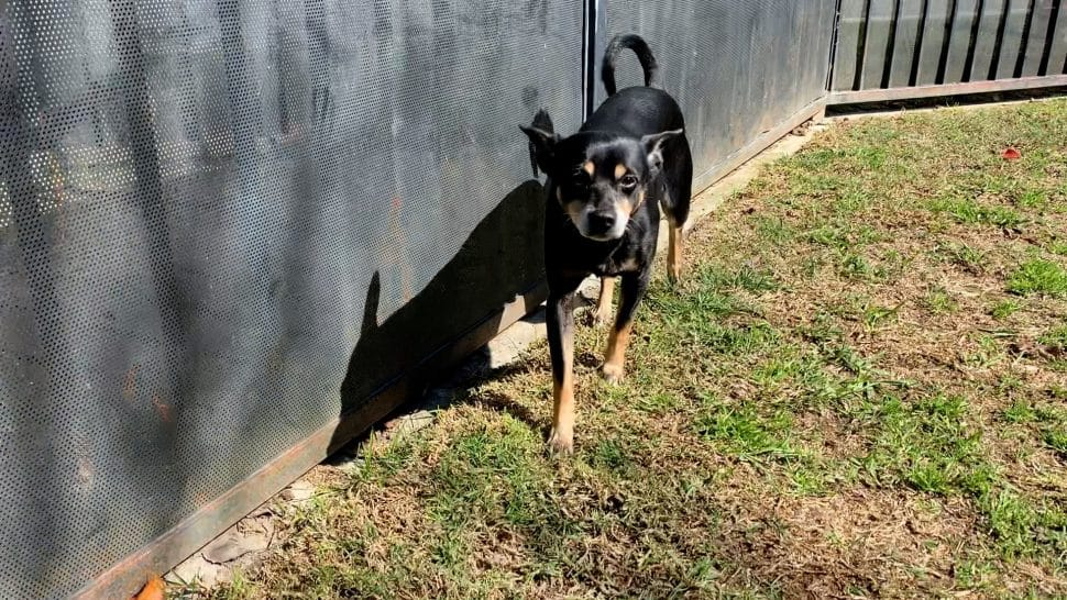 Tiny black dog with brown legs and with a curly tail and pointed ears standing near a slate-color wall on the grass.