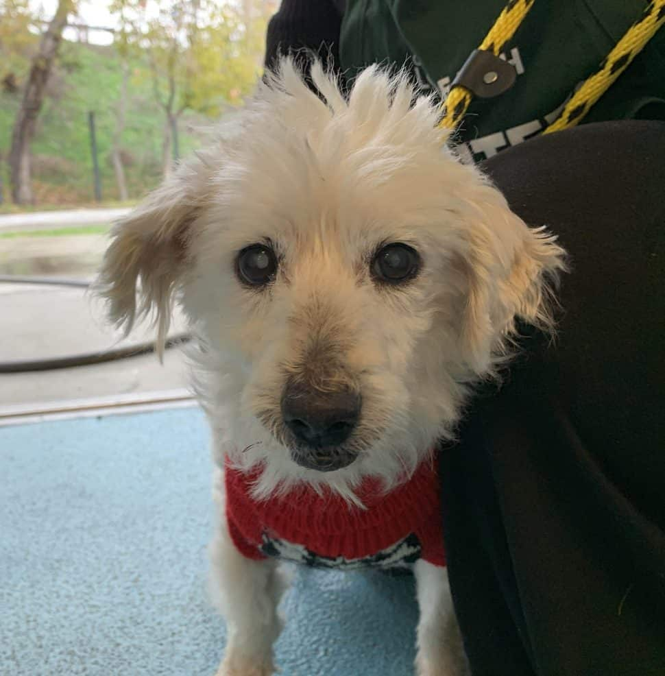 Small white dog with floppy ears, wearing a red plaid jacket. and being held. Face and front legs only are visible.