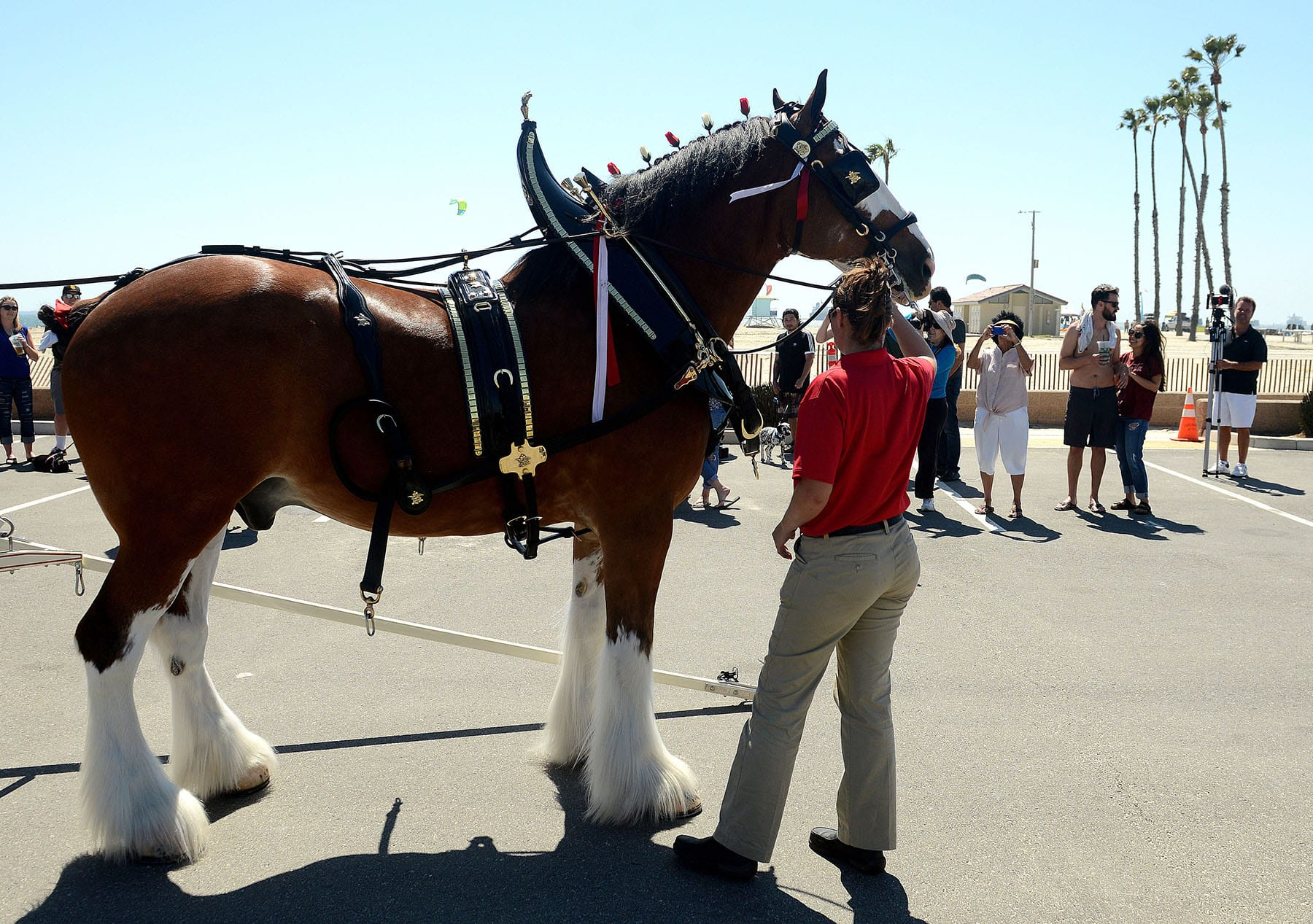 Budweiser Clydesdales Make Their Way Down 2nd Street In Belmont Shore Long Beach Post News