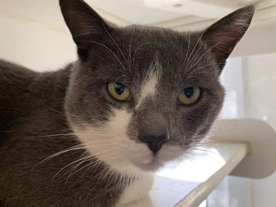 gray cat with intense stare; white markings up one side of the nose and a white face bib
