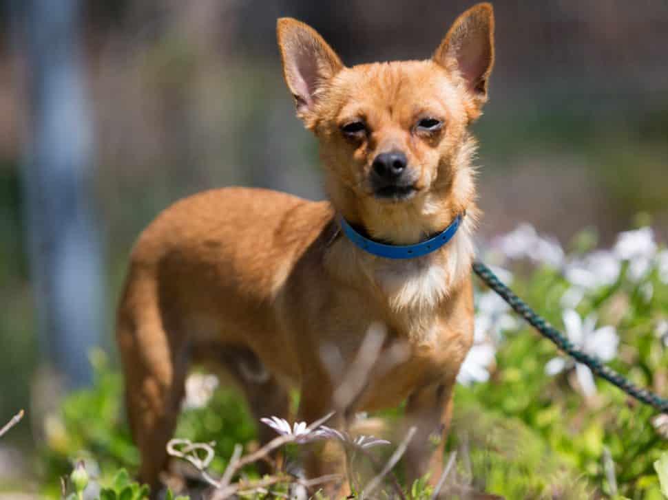 Tan Chihuahua staring at camera, wearing a blue collar, on grass