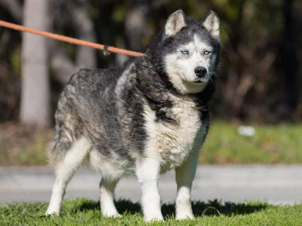 silver-gray-and-white husky standing on grass, with a pink leash.