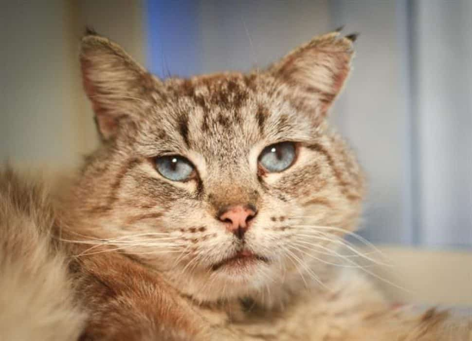 Stiped cat with a large head, with blue eyes, brown fur and a soulful expression