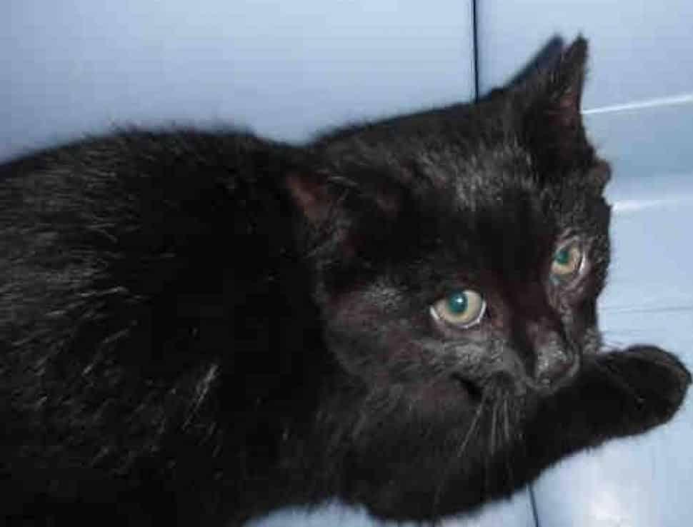 Black kitten in a kennel, one eye seems injured