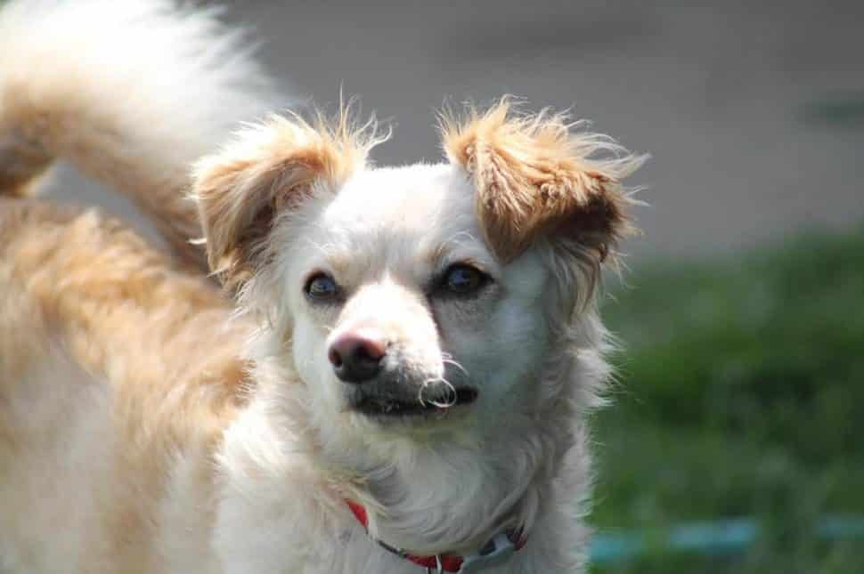 tan Chihuahua mix with fluffy brown ears looks into distance. she's wearing a red collar