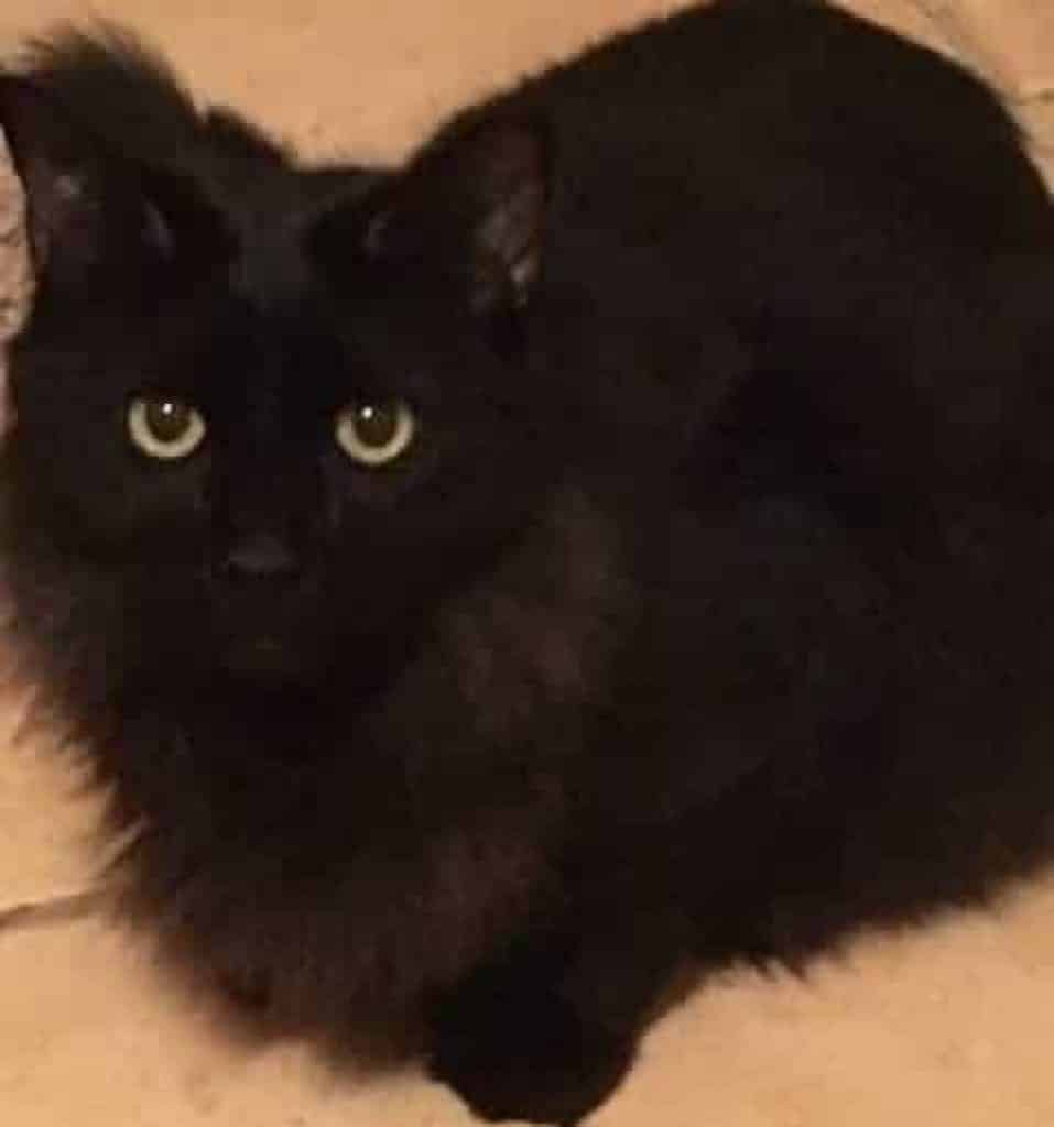 fluffy black cat with green eyes, crouching