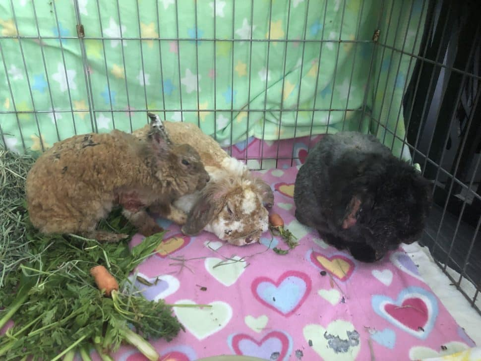 Three rabbits suffering burns--one brown, one brown and white, and one black. They're in an enclosure on a pink blanket decorated with hearts.
