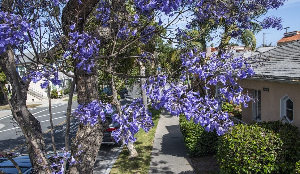 Here Are The Locations Of All 6 799 Jacaranda Trees In Long Beach