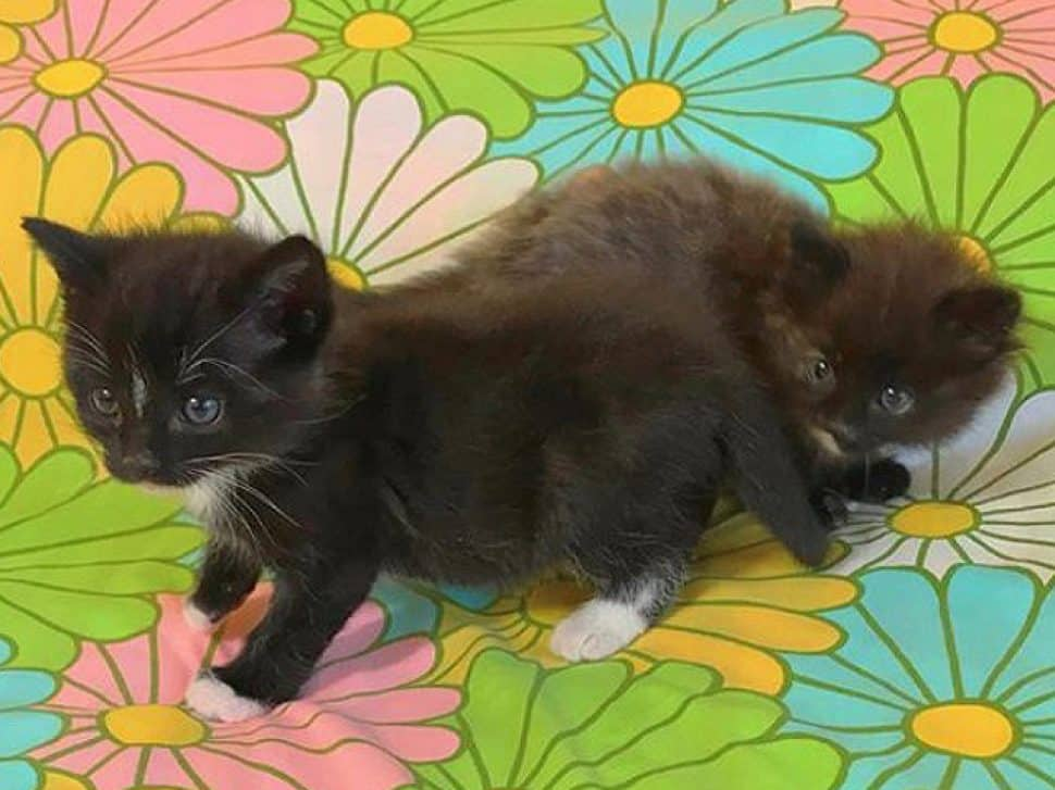 two black kittens with whie paws sit on a pastel-flower-printed bedspread