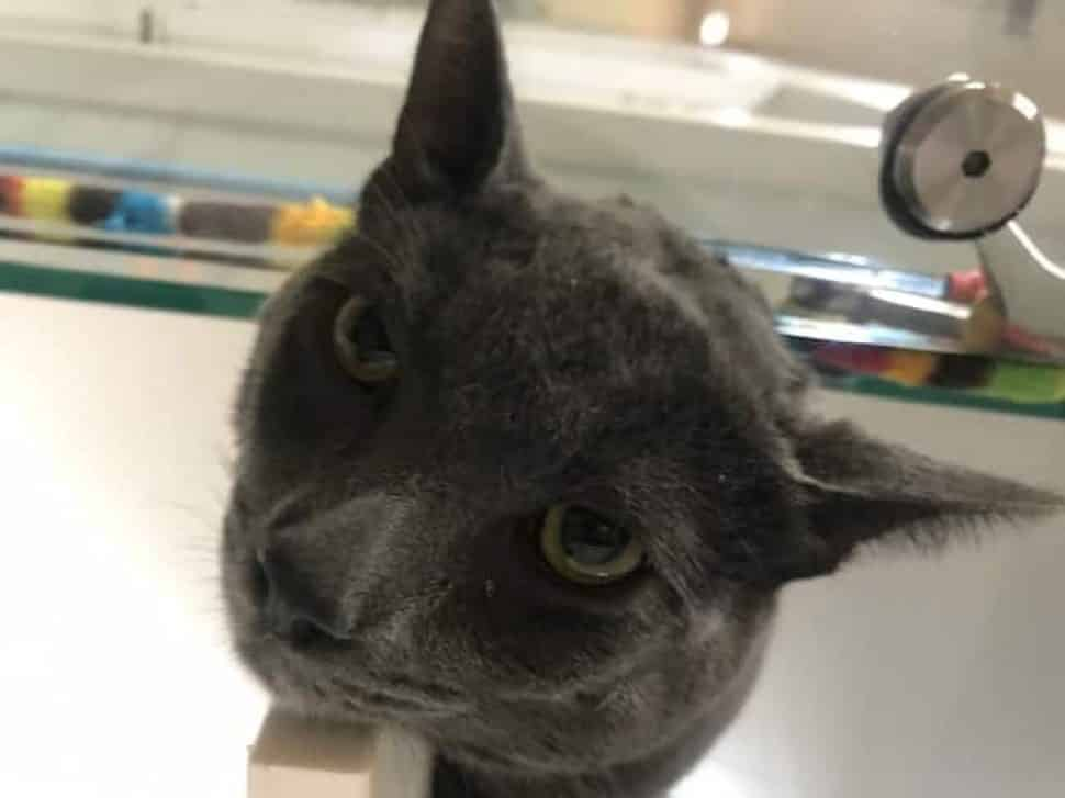 head of slate-gray cat