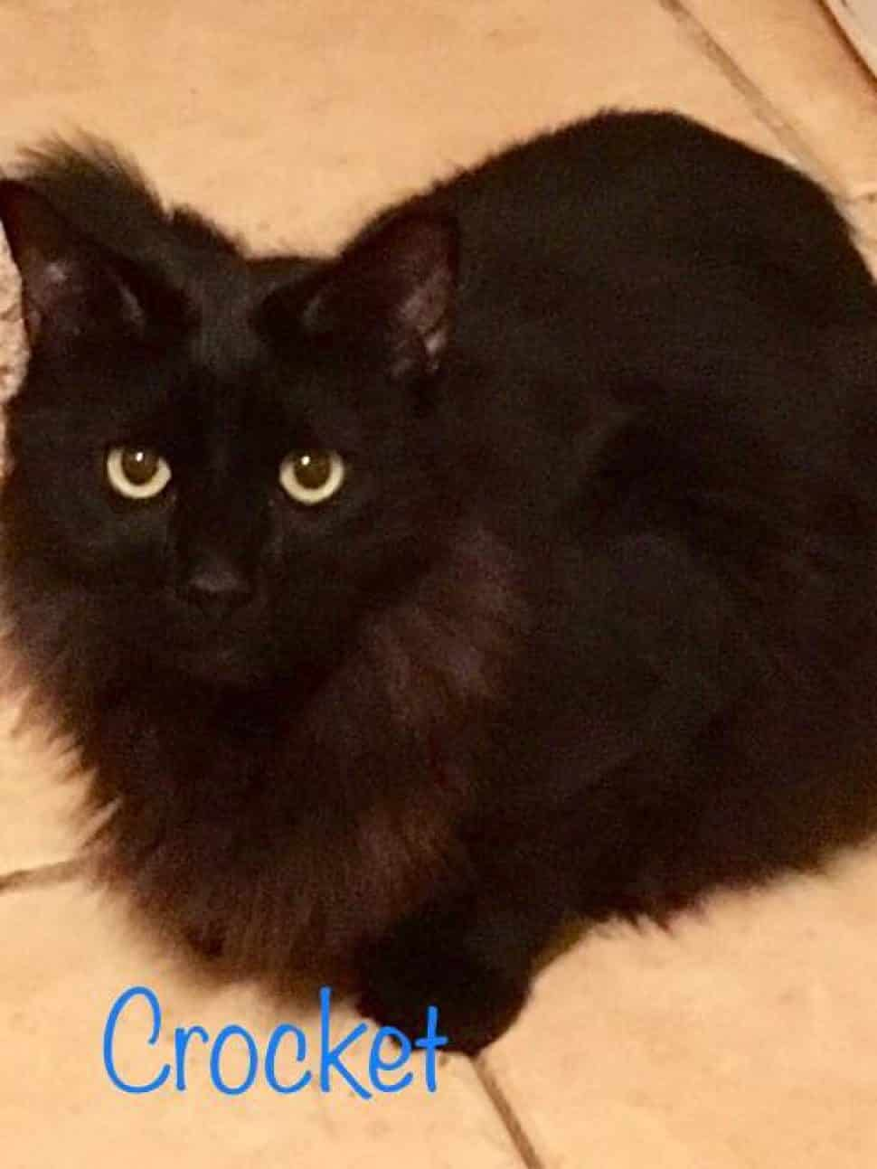 Large mediumhair black cat with orange eyes sits in meatloaf position