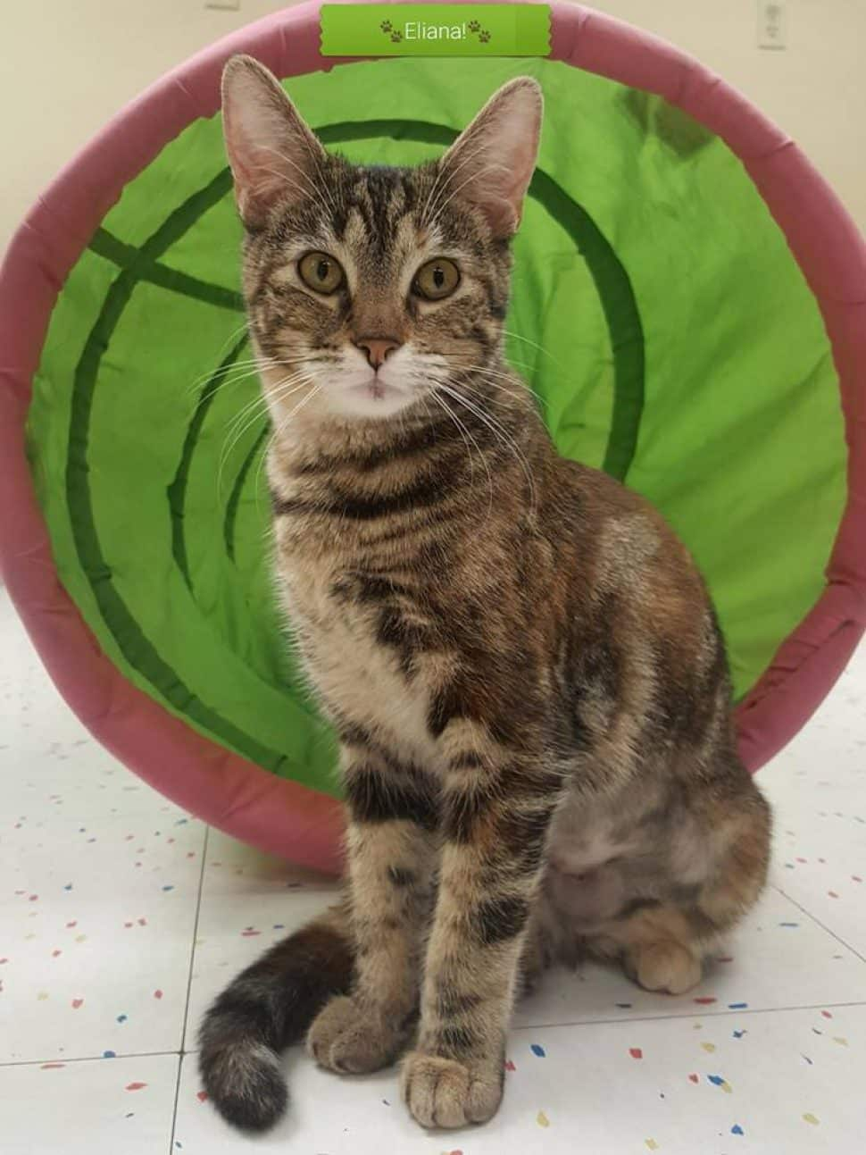 Brown tabby with white muzzle and bib sits in front of green cat tunnel.