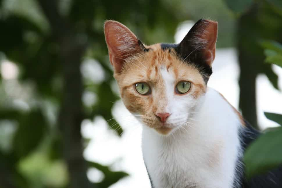 white cat with calico head, one back ear, green eyes, pink nose, notched left ear