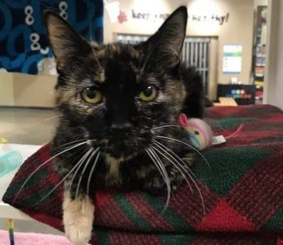 Tortoiseshell cat with one white paw sticking out, staring at the camera and sitting on a plaid blanket.