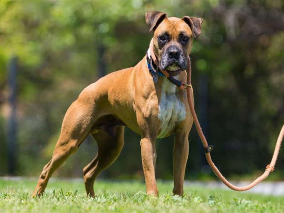 tan boxer in standing position on green lawn with trees in background. He's wearing a collar and attached leash.