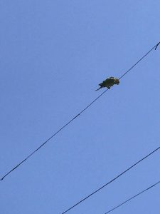 Lone green parrot on a wire, against a blue sky