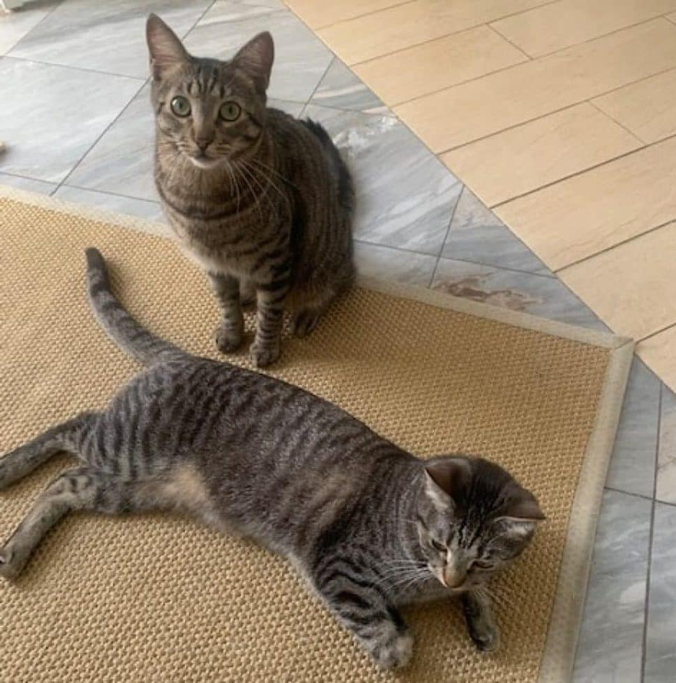 one brown-striped cat sits up and the other lies down on a beige carpet lying on a gray marble floor.