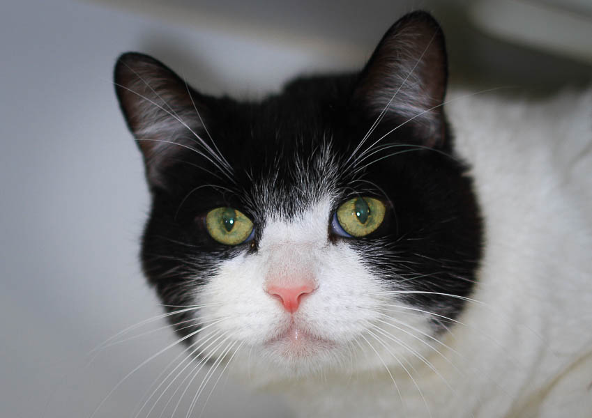 cat with black 'hood' and ears and white muzzle, fat cheeks, pink nose
